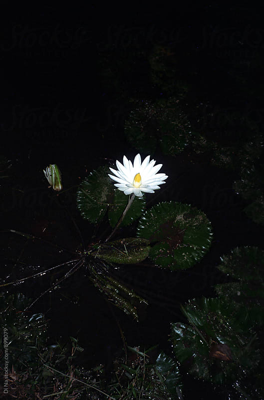 Lily flower in bloom at night by Dina Lun for Stocksy United