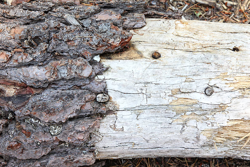 Close up of wooden texture from fallen tree by Monica Murphy for Stocksy United