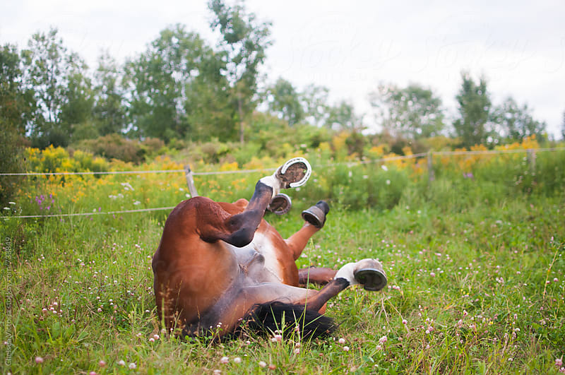 A horse rolling around in the grass by Chelsea Victoria for Stocksy United