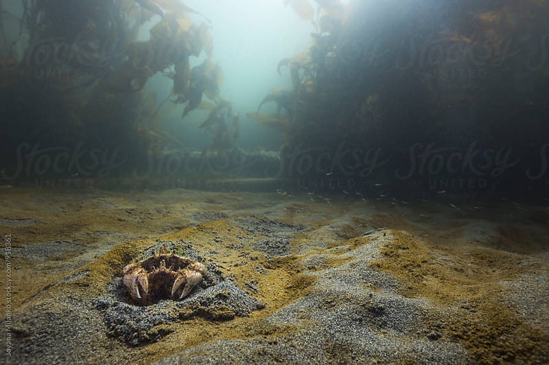 Crab love underwater at the bottom of the Strait of Magellan by Jovana Milanko for Stocksy United