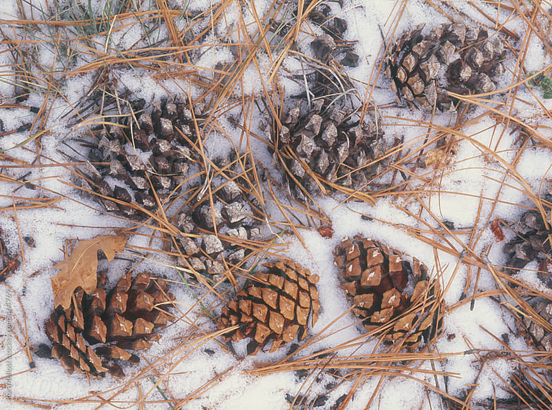 closeup of pinecones pine cones on snow covered ground with pine needles winter by Ron Mellott for Stocksy United