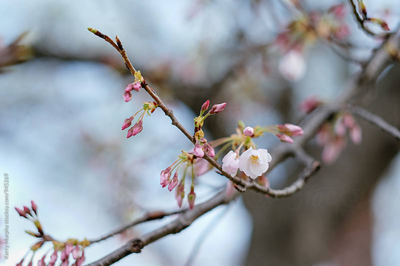 Cherry blossoms blooming on tree limb by Kerry Murphy for Stocksy United