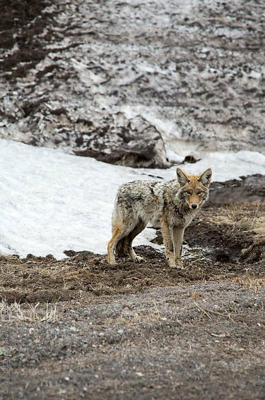 Wild coyote in the Sierras by Carolyn Lagattuta for Stocksy United
