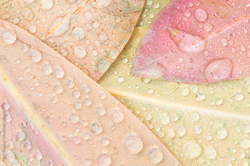 Raindrops on rhododendron leaves, closeup by Mark Windom for Stocksy United