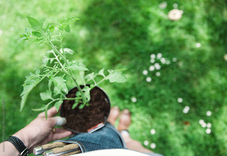 Gardener holding a tomato plant in a pot. by Helen Rushbrook for Stocksy United