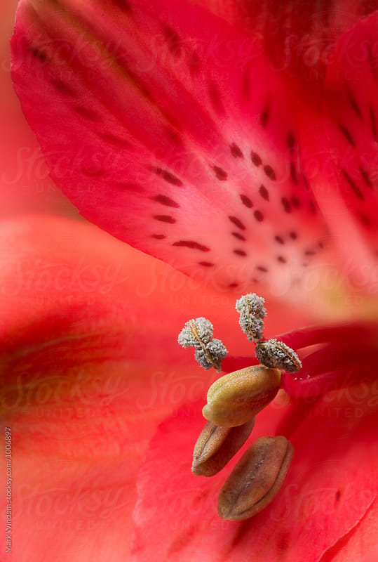 Red Alstroemeria, closeup by Mark Windom for Stocksy United