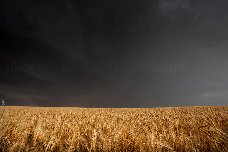 Rain storm over dry wheat field by Robert Lang for Stocksy United