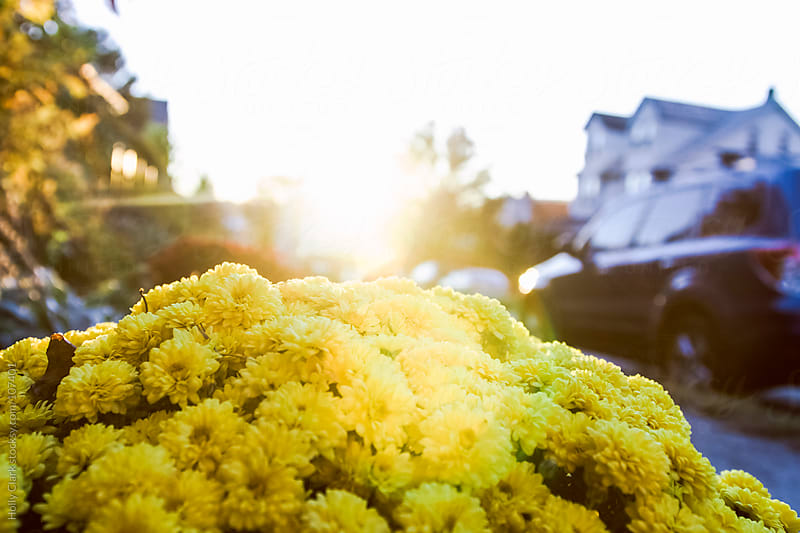 The sun shines on yellow chrysanthemums  in fall. by Holly Clark for Stocksy United