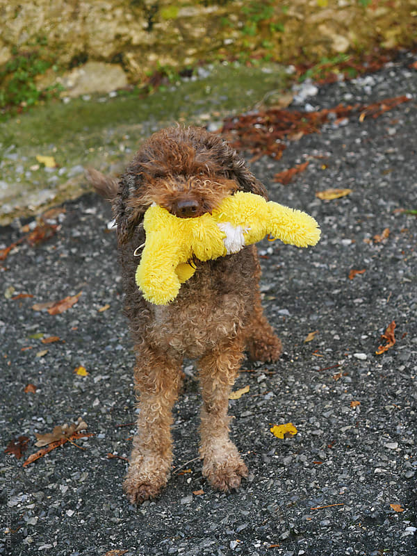 Brown hairy dog with yellow toy in mouth by rolfo for Stocksy United