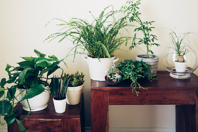 Lush green household plants on a table by kelli kim for Stocksy United