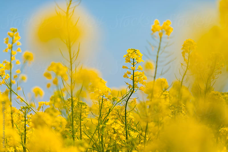 Rapeseed Canola Blossoms by Leslie Taylor for Stocksy United