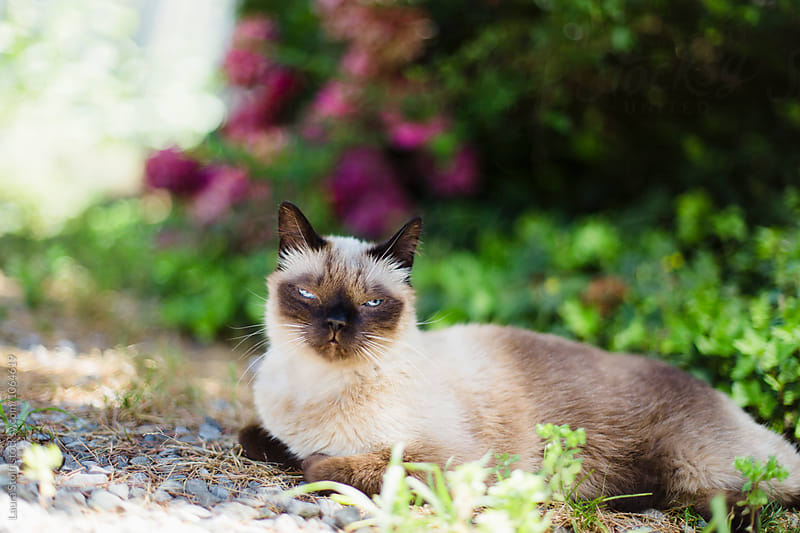 Siamese cat laying in the shadow in close to shrubs in garden by Laura Stolfi for Stocksy United