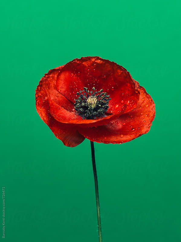 Poppy Flower by Barnaby Kent for Stocksy United
