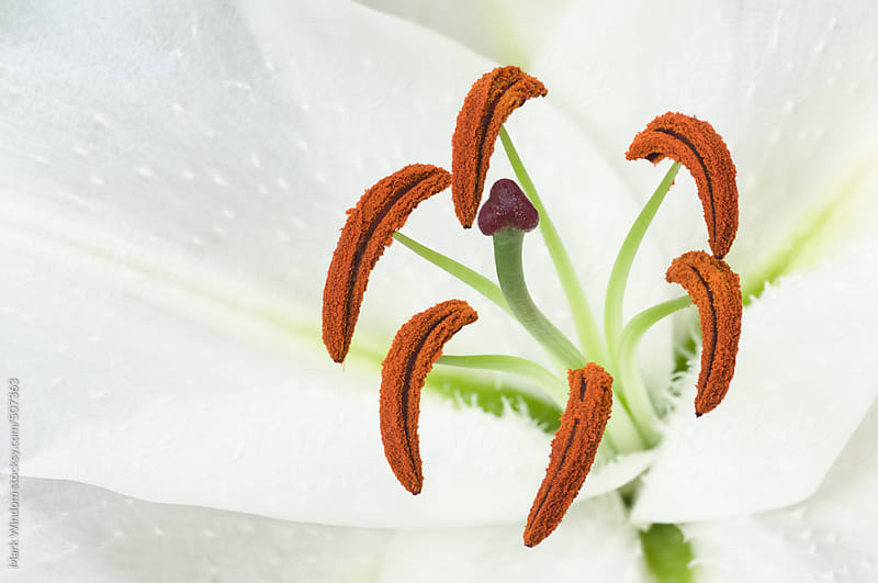 White Oriental lily blossom, closeup by Mark Windom for Stocksy United