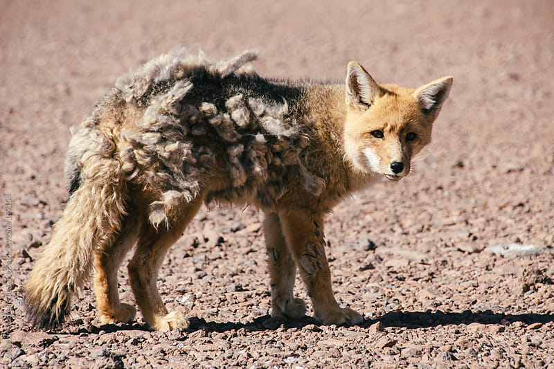 Andean Fox in Andes, Bolivia by Alejandro Moreno de Carlos for Stocksy United