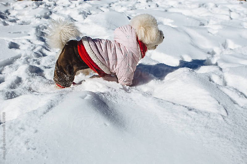 Dog wearing clothes running in the snow by zheng long for Stocksy United