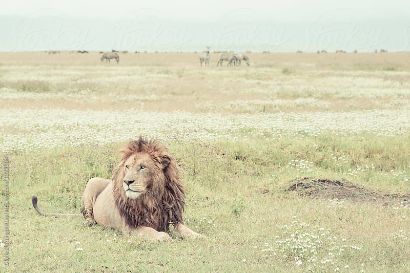 Lion King of Africa by Diane Durongpisitkul for Stocksy United