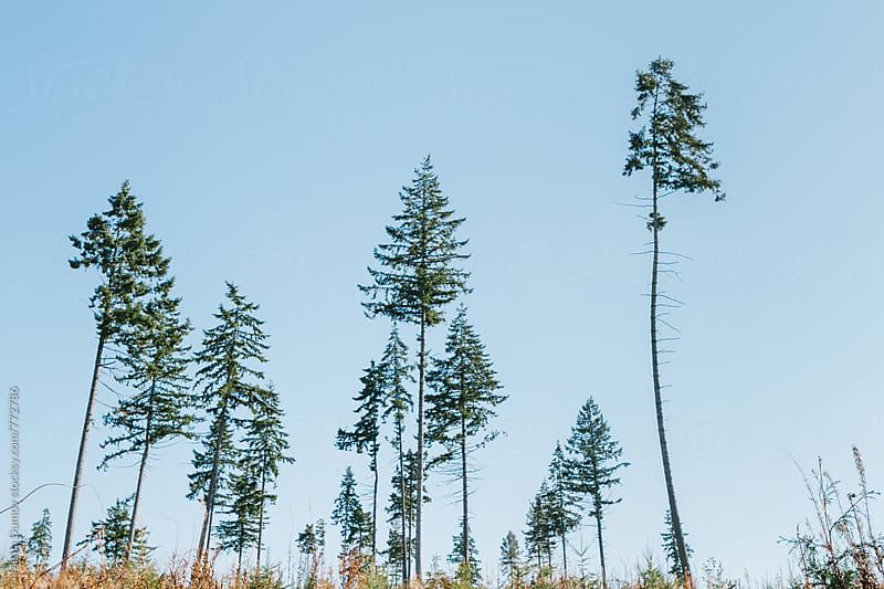 Grove of pine trees against clear blue sky by Mihael Blikshteyn for Stocksy United