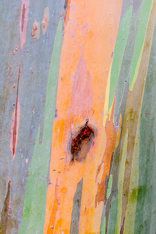 Rainbow Eucalyptus by Jen Grantham for Stocksy United