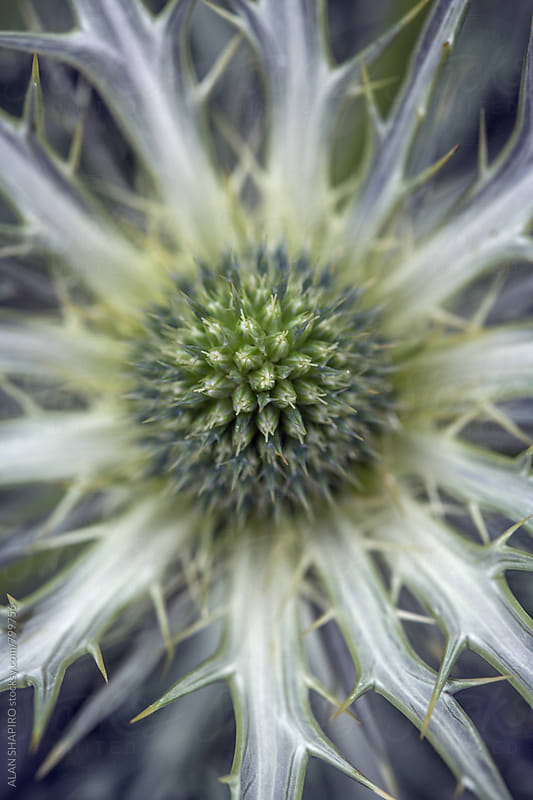 sea holly by ALAN SHAPIRO for Stocksy United