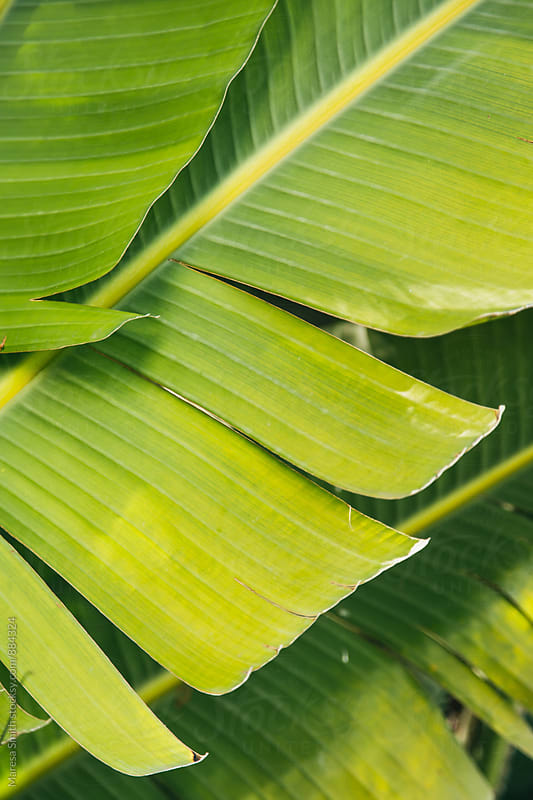 Close up of green tropical leaves in the sunlight  by Maresa Smith for Stocksy United