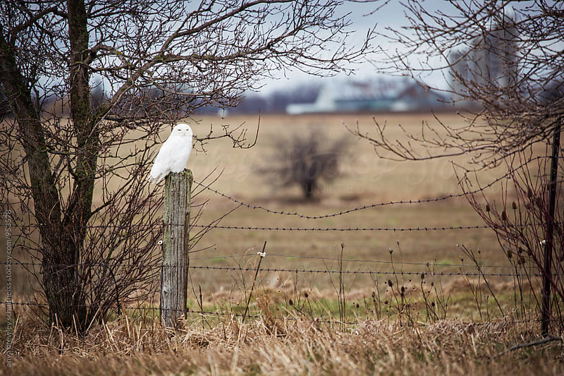 Image of a pure white snow owl sitting serenely on a fence post by anya brewley schultheiss for Stocksy United