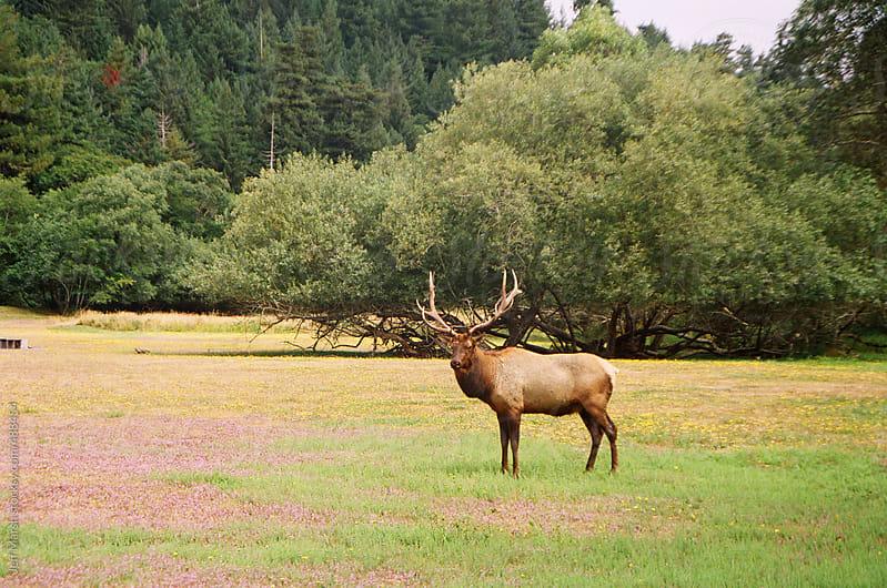 Bull Elk by Jeff Marsh for Stocksy United