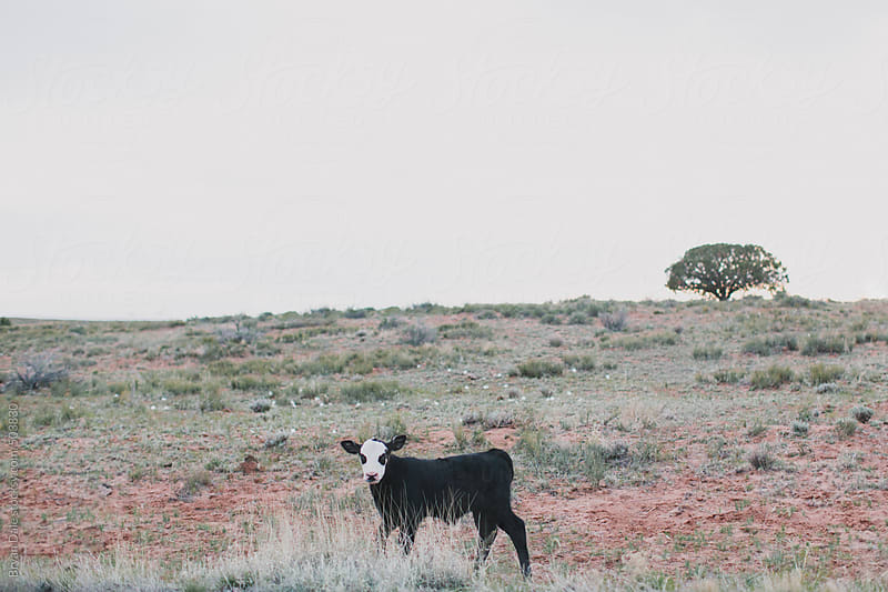 Lone cow in wilderness by Bryan Dale for Stocksy United