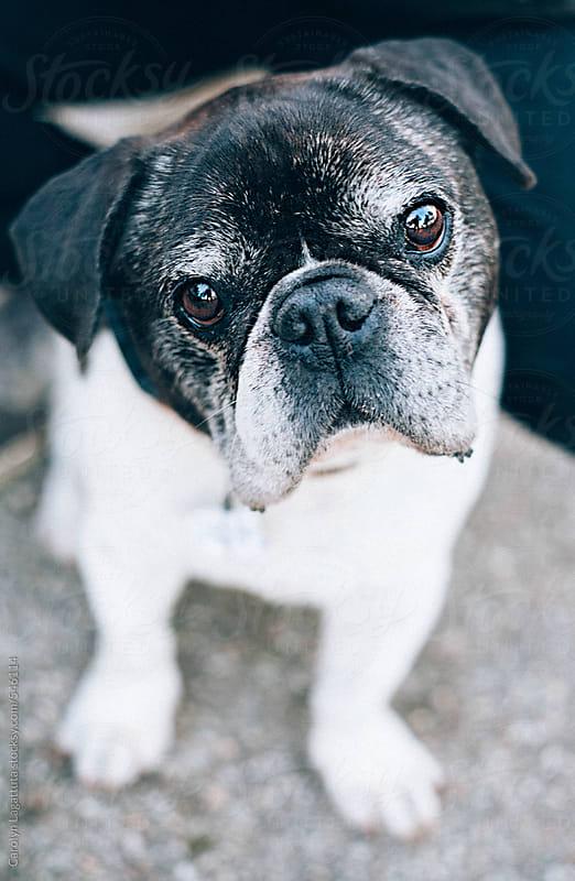 Adorable black and white french bulldog pug mx by Carolyn Lagattuta for Stocksy United