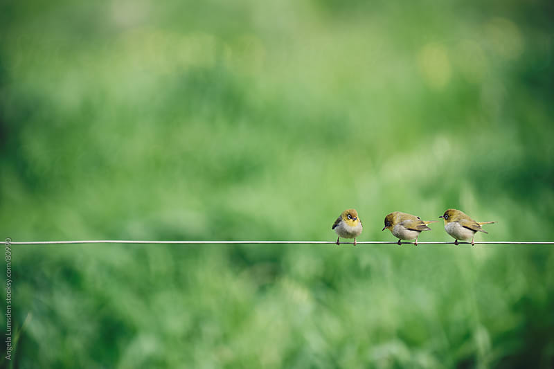 Three birds on a wire  by Angela Lumsden for Stocksy United