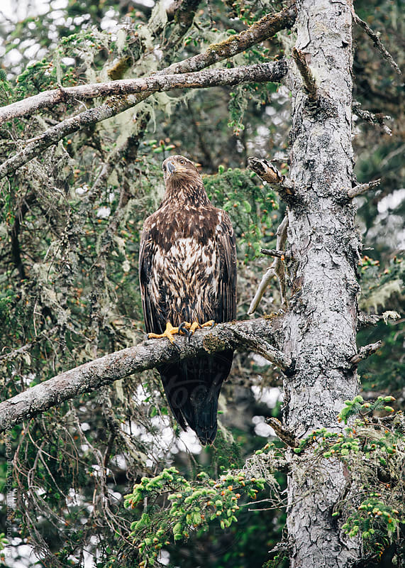 juvenile bald eagle on tree branch in Alaska by Cameron Zegers for Stocksy United