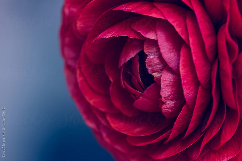 Soft red ranunculus flower macro by Kerry Murphy for Stocksy United
