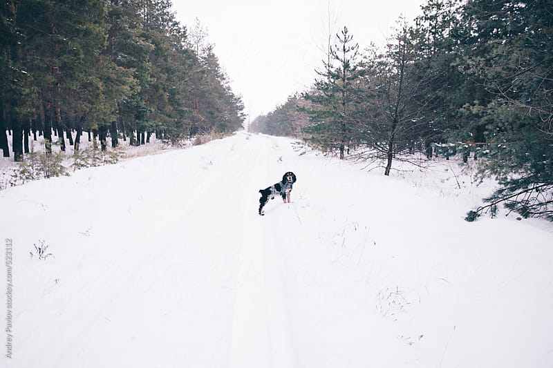 Dog standing at winter forest road by Andrey Pavlov for Stocksy United