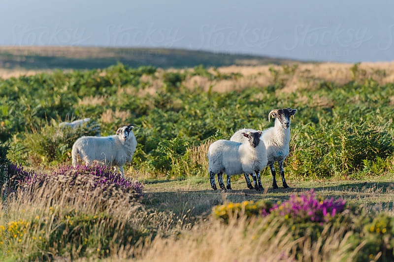 Black faced sheep on heathland by Rebecca Spencer for Stocksy United