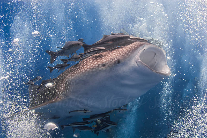 Whale shark swimming underwater by Soren Egeberg for Stocksy United