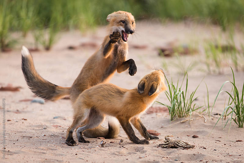 Pair of young wild fox partners fighting in natural animal environment by Matthew Spaulding for Stocksy United