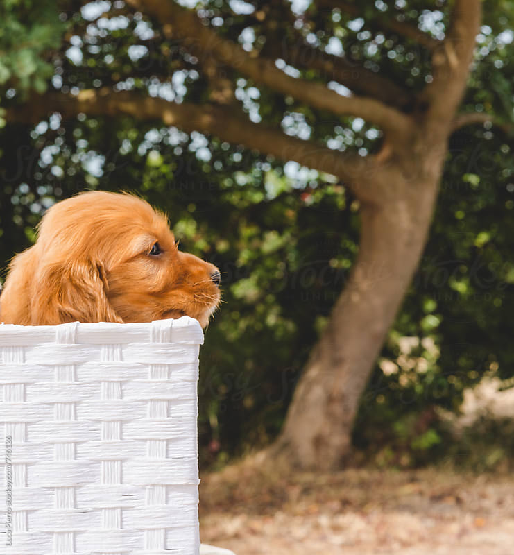 A little cocker spaniel puppy in a white basket  by Luca Pierro for Stocksy United