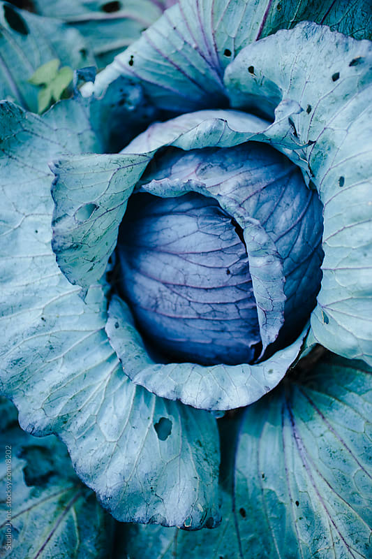 Backyard Garden: Cabbage in the Vegetable Patch by Jani Bryson for Stocksy United