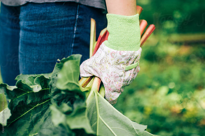 Hands holding bunch of freshly harvested rhubarb by Deirdre Malfatto for Stocksy United