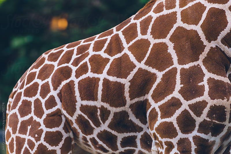 Close up of a giraffe's body by Jen Grantham for Stocksy United