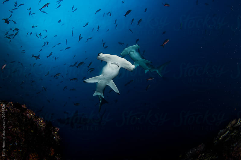Two hammerhead sharks on the top by Song Heming for Stocksy United