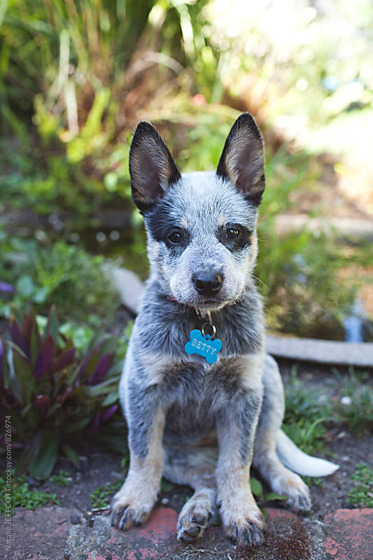 A very cute and cheeky Blue heeler puppy in a backyard by Natalie JEFFCOTT for Stocksy United