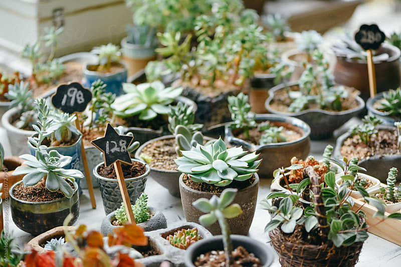 Succulent plants in store by MaaHoo Studio for Stocksy United