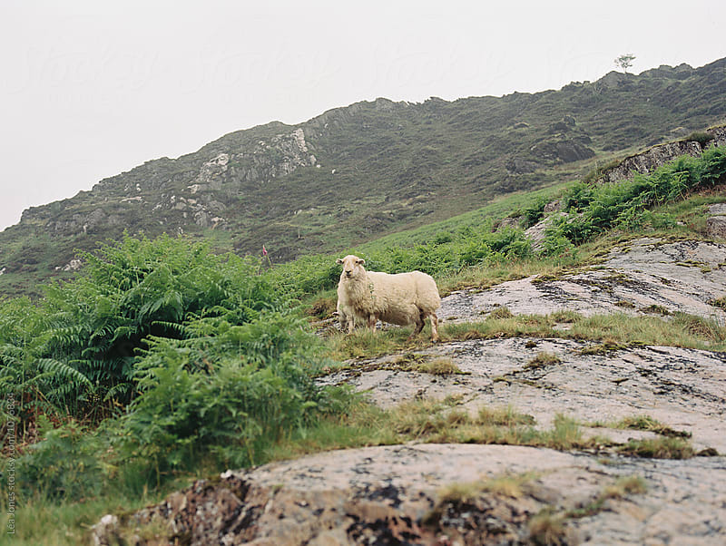 mountain sheep by Léa Jones for Stocksy United