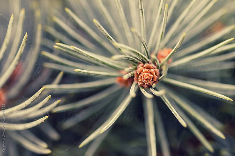Macro of pine tree needles by Kerry Murphy for Stocksy United