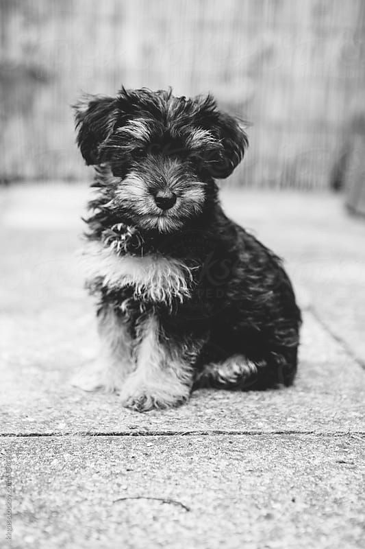 Black and white portrait of a four month old cross breed puppy sitting alone by kkgas for Stocksy United