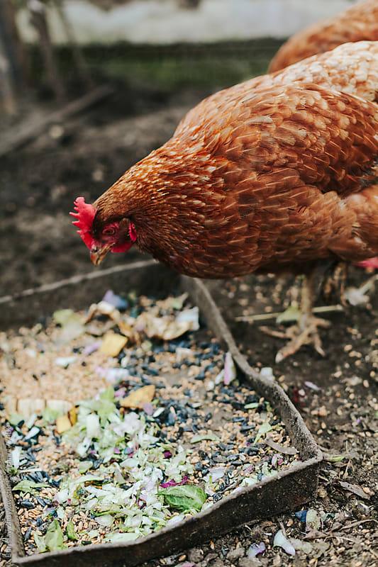 Hens peck by Borislav Zhuykov for Stocksy United