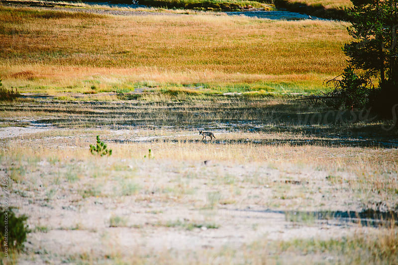 Lone Coyote Standing In Grassy Plain by Luke Mattson for Stocksy United
