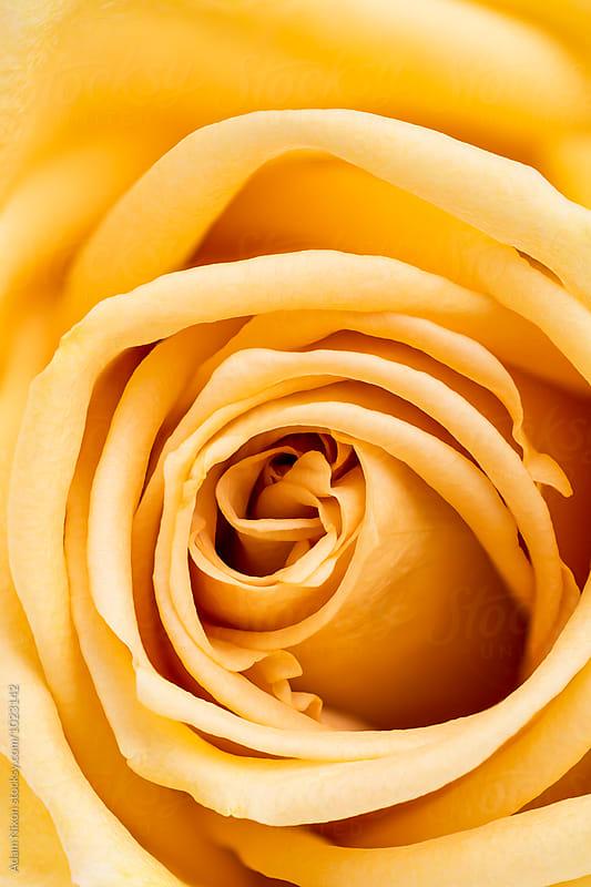 Yellow Rose by Adam Nixon for Stocksy United