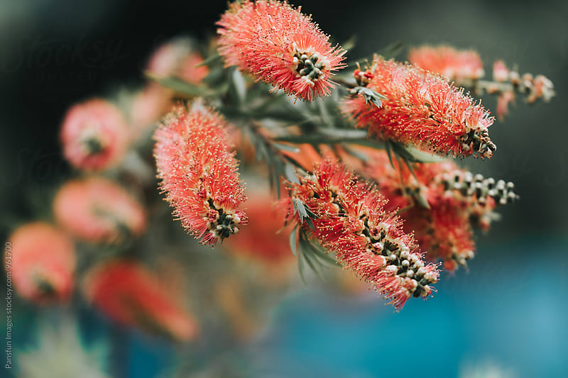 Bottlebrush flowers by Xunbin Pan for Stocksy United